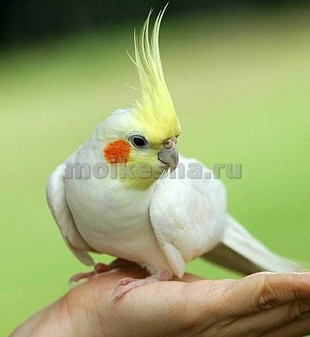 корелла попугай поет