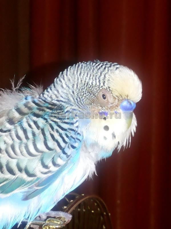 волнистый попугай клюв слоится