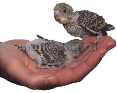 кормление птенцов волнистых попугаев