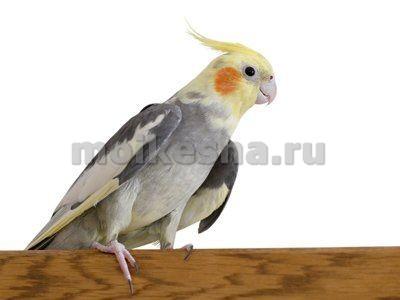 порода попугая корелла