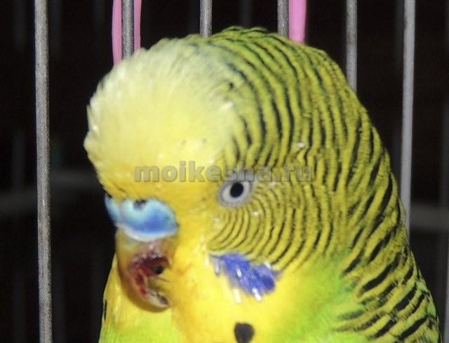 строение клюва волнистого попугая