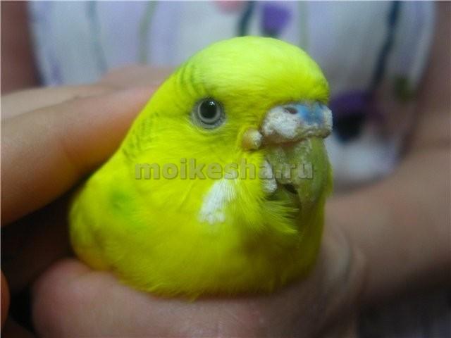 волнистый попугай болезни клюва