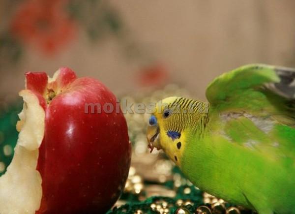 как выкормить птенца волнистого попугая