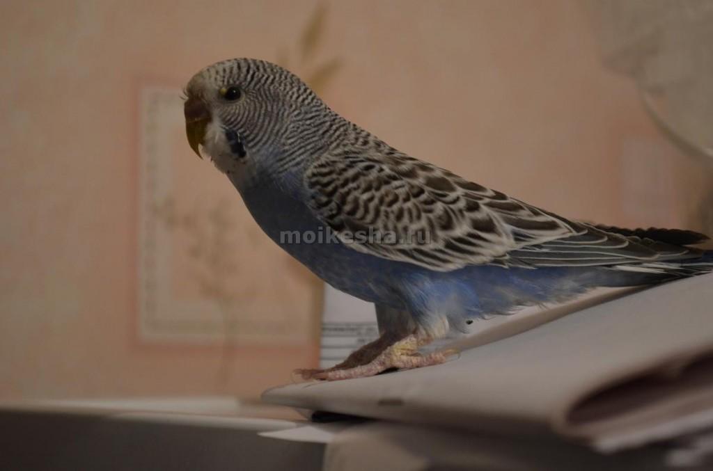 потемнел клюв у волнистого попугая
