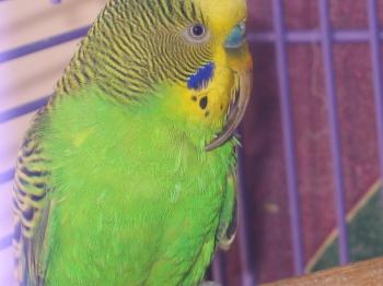 болезнь попугая, длинный клюв