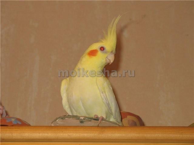 описание попугая корелла