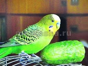чем кормить маленького волнистого попугая