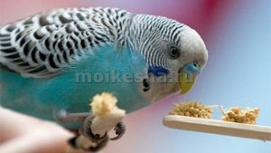 шелушение клюва у волнистых попугаев