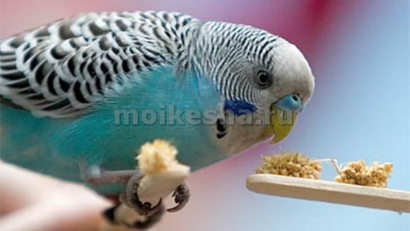 почему у попугаев волнистых выпадают перья