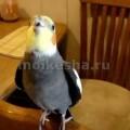 Попугай корелла как научить говорить