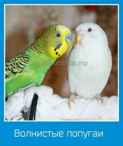 Обычные волнистые попугаи