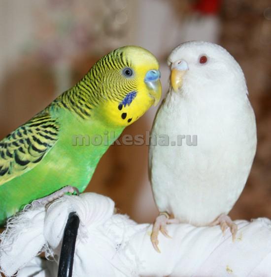 чешские волнистые попугаи