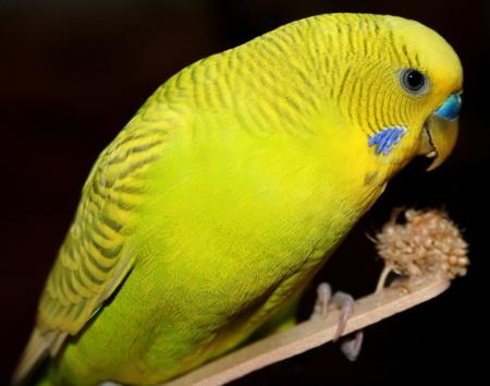 волнистый попугай ест пророщенные зерна