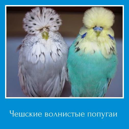 Волнистые попугаи чехи чем отличаются