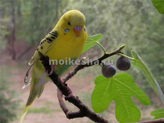 что любит волнистый попугай