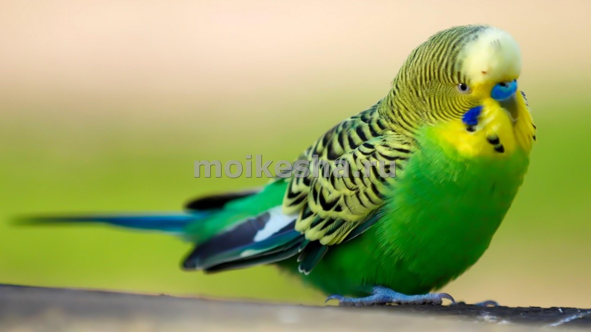 Смотреть У попугая выпадают перья видео