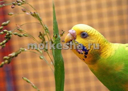 что любят волнистые попугаи кушать
