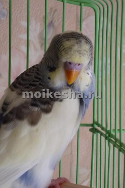 почему волнистые попугаи выщипывают перья