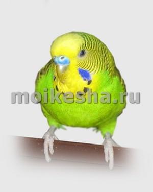 волнистый попугай выдергивает перья