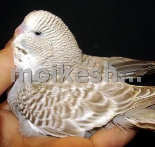 выпадение перьев у волнистых попугаев