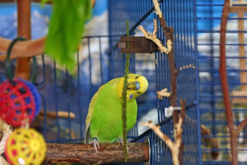 рацион питания волнистых попугаев