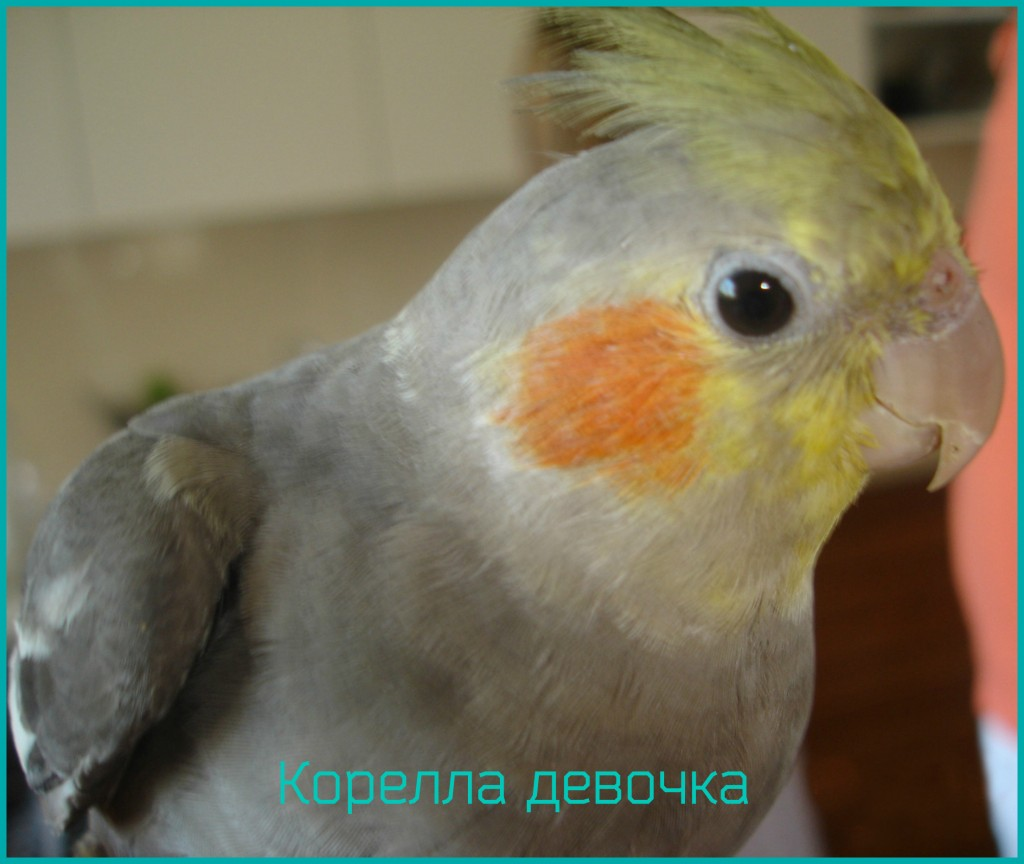 попугай корелла девочка фото