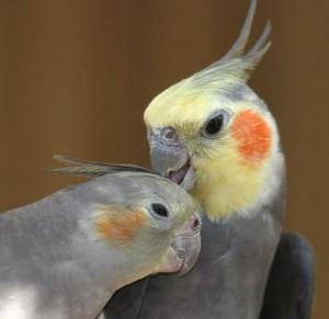 Пара попугаев корелла