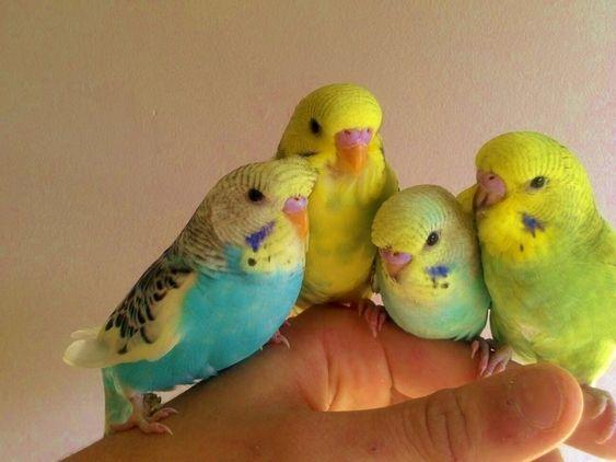 попугай волнистый как приручить к рукам