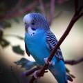 Интересные факты о жизни волнистых попугаев