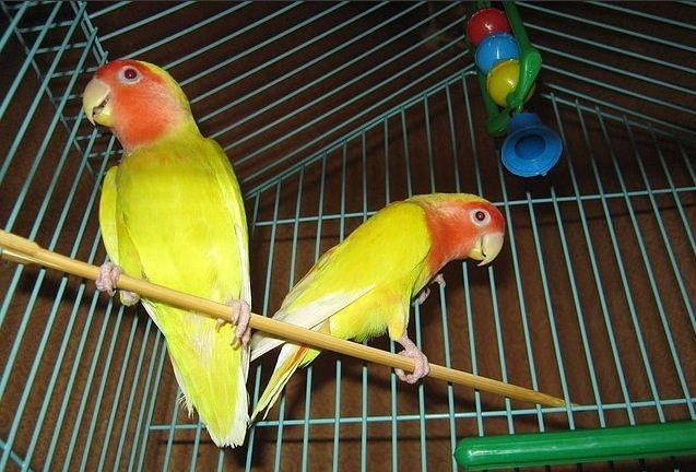 попугайчик уход