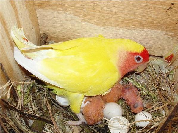 гнездо для неразлучников своими руками