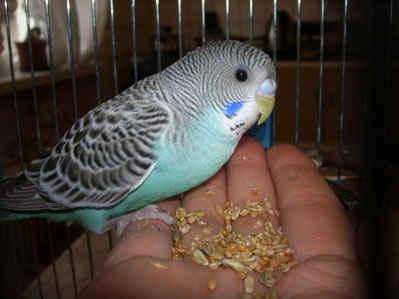 попугаи волнистые как приучить к рукам