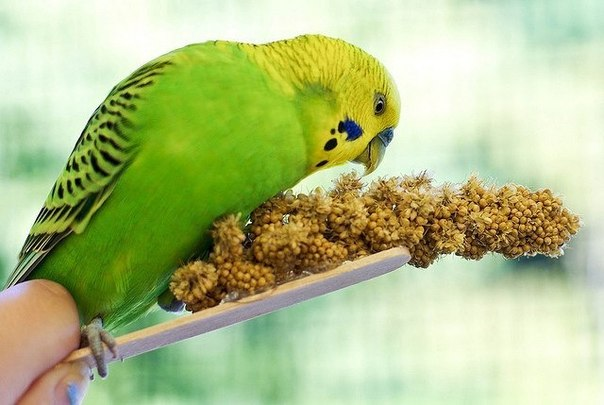 волнистый попугай ест