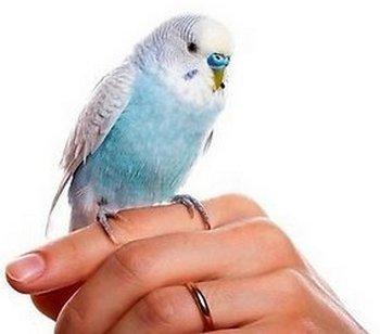приручение волнистого попугая к рукам видео