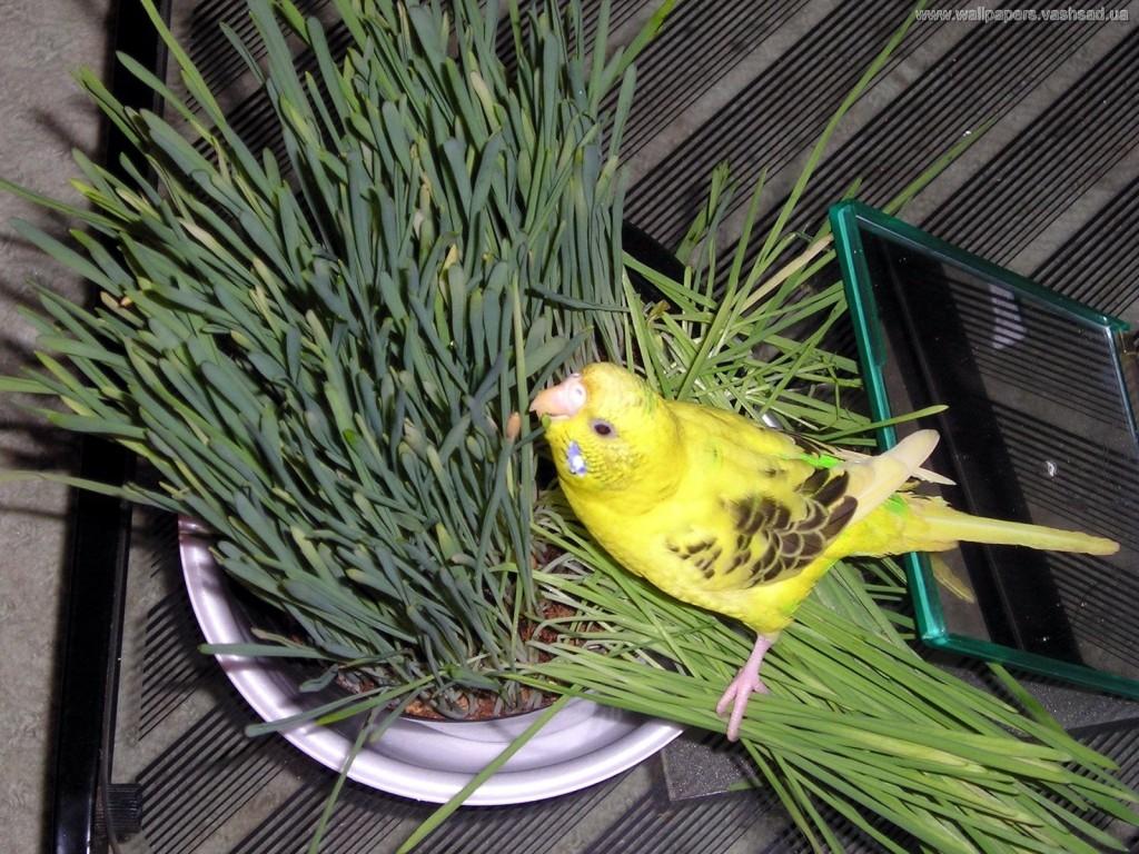 волнистые попугаи любят кушать зелень
