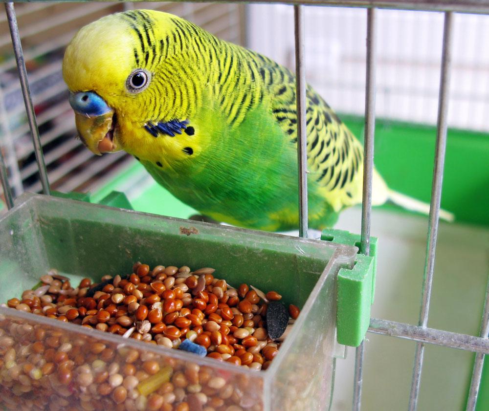 волнистые попугаи: содержание, уход, кормление