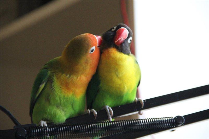 размеры гнезда для попугаев неразлучников