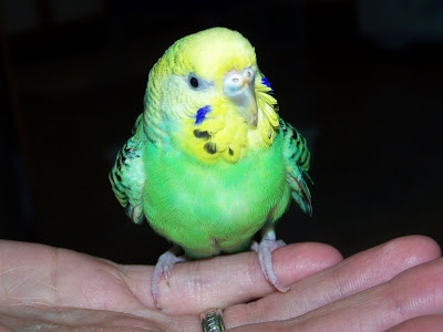 как правильно приручить волнистого попугая к рукам