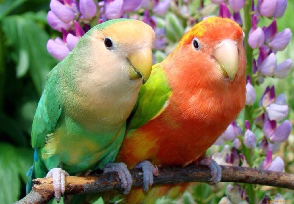 имена для попугаев неразлучников