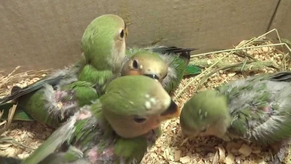 размеры гнезда попугая неразлучника