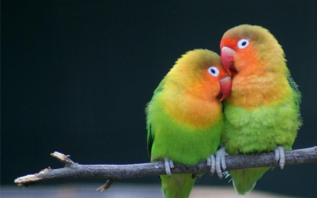 клички для попугаев неразлучников
