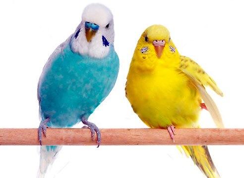 волнистые попугаи сидят на ветке
