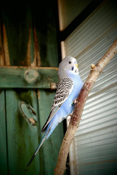 содержание волнистых попугаев в домашних условиях