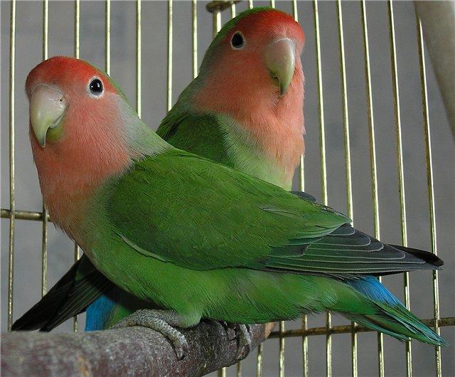 попугаи неразлучники сидят на ветке