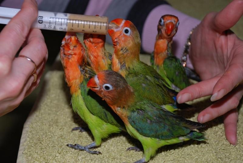 подкармливание птенцов неразлучников