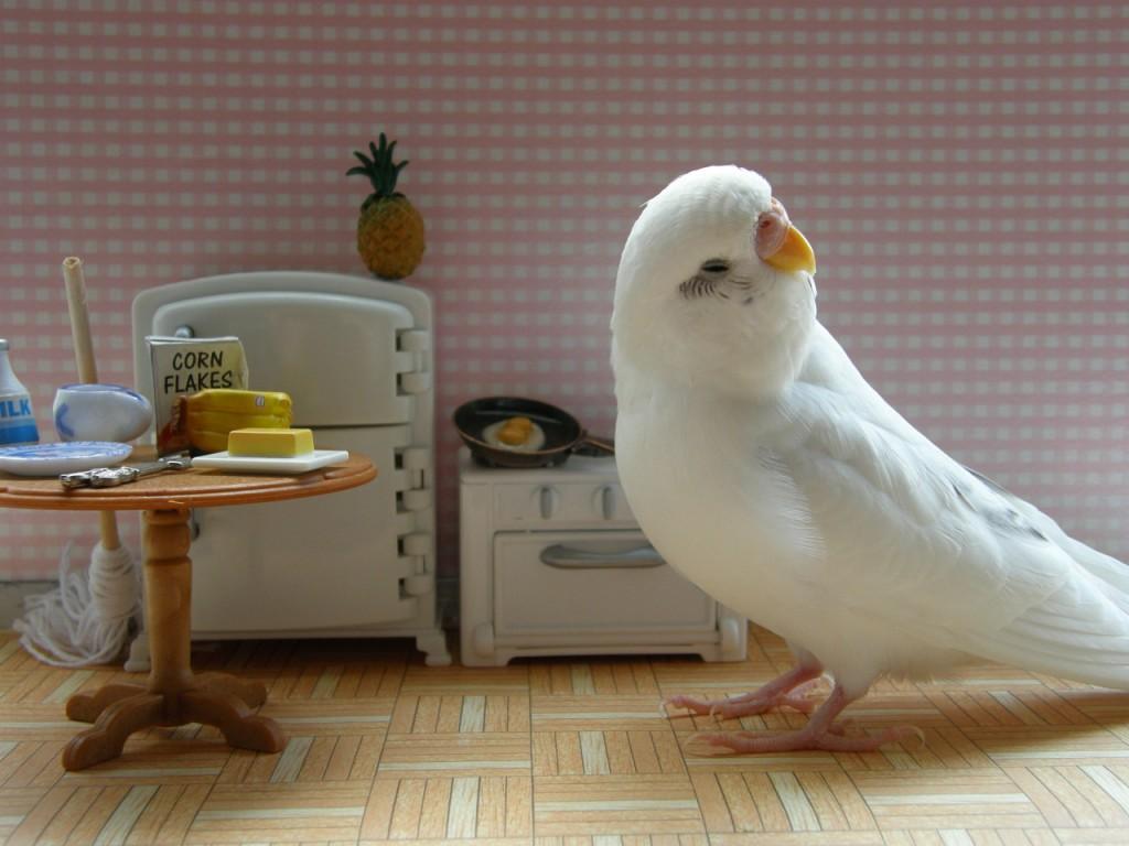 Волнистый попугай на кухне