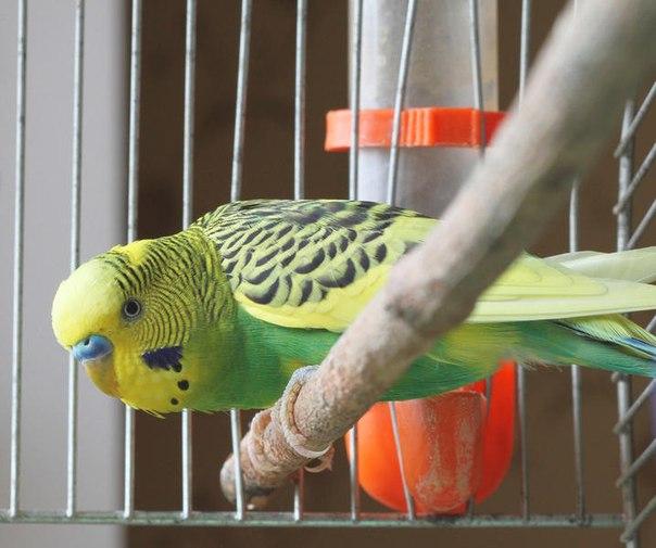 аллергия на волнистых попугаев симптомы