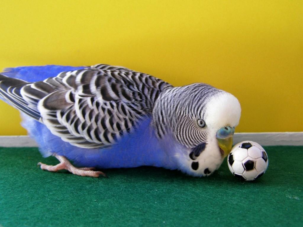 Волнистый попугай играет в мяч