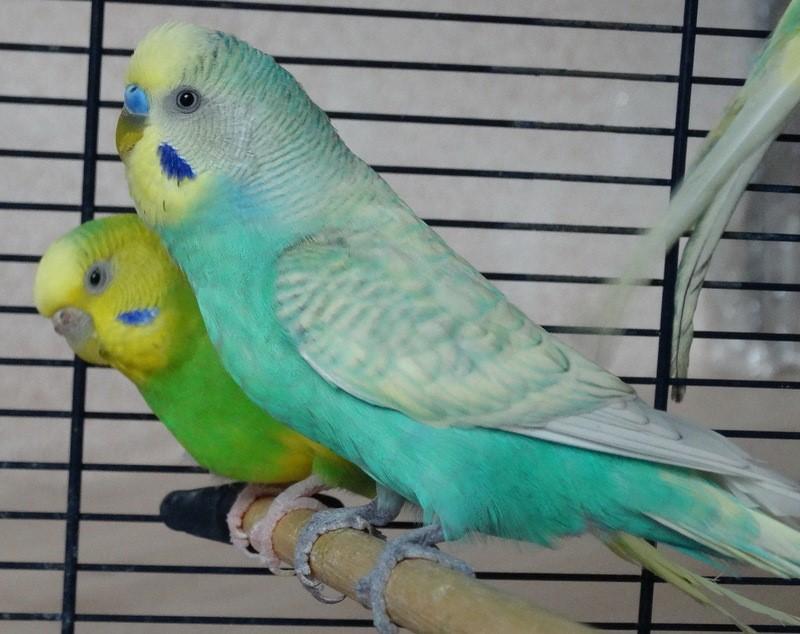 Сколько живут волнистые попугаи без еды