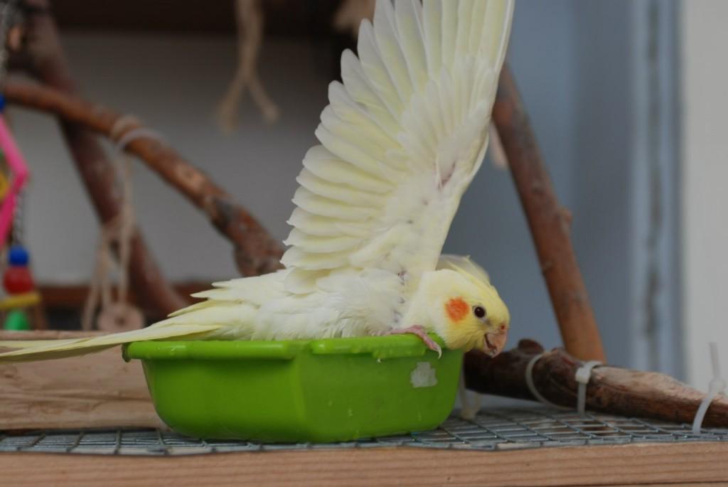 Купание попугая кореллы
